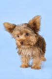 Yorkshire Terrier puppy standing in studio looking inquisitive b Stock Photo