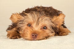 Yorkshire Terrier puppy standing in studio looking inquisitive b Royalty Free Stock Image