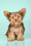 Yorkshire Terrier puppy standing in studio looking inquisitive g Stock Photo