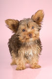 Yorkshire Terrier puppy standing in studio looking inquisitive p Stock Images