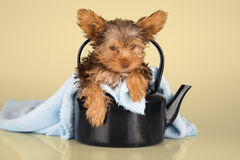 Yorkshire Terrier puppy standing in studio looking inquisitive p Royalty Free Stock Photos
