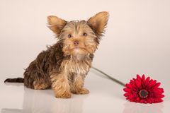 Yorkshire Terrier puppy standing in studio looking inquisitive p Royalty Free Stock Images