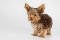 Yorkshire Terrier puppy standing in studio looking inquisitive w Stock Images