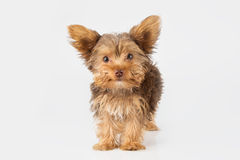 Yorkshire Terrier puppy standing in studio looking inquisitive w Stock Image