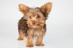Yorkshire Terrier puppy standing in studio looking inquisitive w Stock Photos