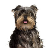 Yorkshire Terrier puppy sticking tongue, isolated Stock Photo
