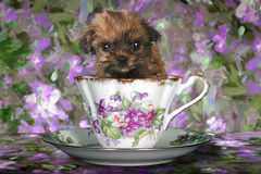 Yorkshire Terrier Puppy in a Teacup Royalty Free Stock Images