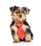 Yorkshire Terrier puppy with tie sitting in front. isolated Royalty Free Stock Photo