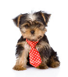 Yorkshire Terrier puppy with tie sitting in front.  Royalty Free Stock Photography