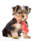 Yorkshire Terrier puppy with tie.  on white background Stock Photography