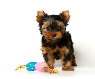 The Yorkshire Terrier puppy with a toy Royalty Free Stock Photos