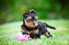 Yorkshire terrier puppy with a toy Royalty Free Stock Photo