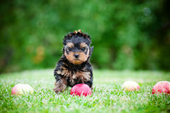 Yorkshire terrier puppy with a toy Stock Image