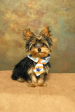 A Yorkshire terrier puppy wears a patriotic tie Stock Photos