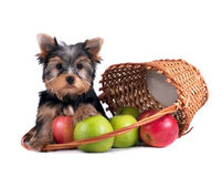 Yorkshire terrier puppy on white background Stock Photo