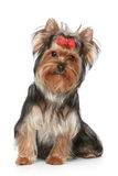 Yorkshire Terrier puppy on a white background Stock Image