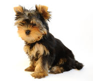 Yorkshire terrier puppy on white background Royalty Free Stock Image