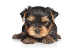 Yorkshire terrier puppy on a white background. Stock Photos