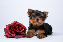 Yorkshire terrier puppy on a white background. Yorkshire terrier puppy with a beautiful silk coat with purple flower on a white background Royalty Free Stock Photos