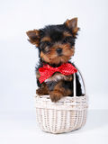 Yorkshire terrier puppy on a white background. Yorkshire terrier puppy with red bow in white basket on a white background Stock Photo