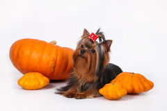 Yorkshire terrier puppy on a white background. Yorkshire terrier puppy sitting and posing with pumpkins on a white background Stock Photos