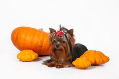 Yorkshire terrier puppy on a white background. Yorkshire terrier puppy sitting and posing with pumpkins on a white background Stock Image