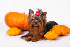 Yorkshire terrier puppy on a white background. Yorkshire terrier puppy sitting and posing with pumpkins on a white background Royalty Free Stock Photo