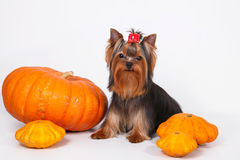 Yorkshire terrier puppy  on a white background. Yorkshire terrier puppy sitting and posing with pumpkins on a white background Royalty Free Stock Photography
