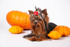 Yorkshire terrier puppy  on a white background. Yorkshire terrier puppy sitting and posing with pumpkins on a white background Royalty Free Stock Images