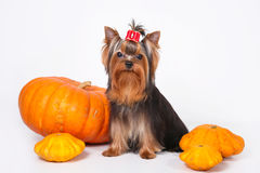 Yorkshire terrier puppy on a white background. Yorkshire terrier puppy sitting and posing with pumpkins on a white background Royalty Free Stock Image