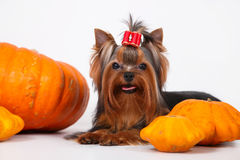 Yorkshire terrier puppy on a white background. Yorkshire terrier puppy sitting and posing with pumpkins on a white background Stock Photography