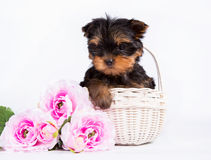 Yorkshire terrier puppy in a white basket with a bouquet of pink flowers Royalty Free Stock Photos