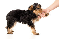 Yorkshire Terrier puppy and a woman's hand Royalty Free Stock Photography