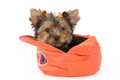 Yorkshire Terrier puppy (Yorkie). In cap royalty free stock image