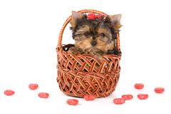 Yorkshire Terrier puppy (Yorkie). In basket Royalty Free Stock Photos