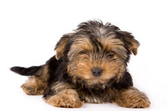 Yorkshire Terrier puppy (Yorkie). On white background Stock Image