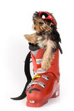 Yorkshire Terrier puppy (Yorkie). Skier Stock Photo