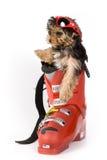Yorkshire Terrier puppy (Yorkie). Skier stock photo
