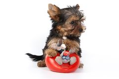 Yorkshire Terrier puppy (Yorkie). With decoration royalty free stock images