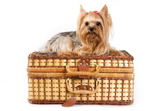 Yorkshire Terrier puppy (Yorkie). On suitcase stock images