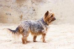 Yorkshire terrier que anda perto da casa Imagens de Stock