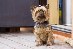 Yorkshire terrier que anda perto da casa Imagem de Stock