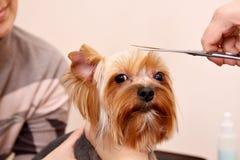Yorkshire Terrier que consigue su corte del pelo Imagen de archivo libre de regalías