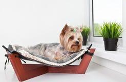 Yorkshire terrier que encontra-se na cama da rede Imagem de Stock Royalty Free