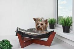 Yorkshire terrier que encontra-se na cama da rede Imagens de Stock Royalty Free