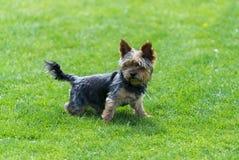 Yorkshire terrier que fica no campo verde Imagem de Stock Royalty Free