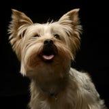 Yorkshire terrier que olha acima em um estúdio Fotos de Stock Royalty Free