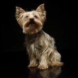 Yorkshire terrier que olha acima em um estúdio Imagens de Stock