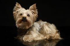 Yorkshire terrier que olha acima em um estúdio escuro do photom Imagem de Stock Royalty Free