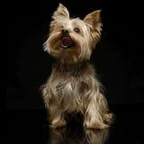 Yorkshire terrier que olha acima no fundo escuro Fotos de Stock